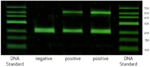 Mycoplasma gallisepticum PCR test agarose gel electrophoresis - positive and negative results.