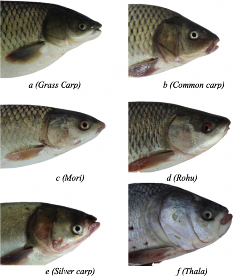 Fish-Pak: Fish species dataset from Pakistan for visual features based classification.