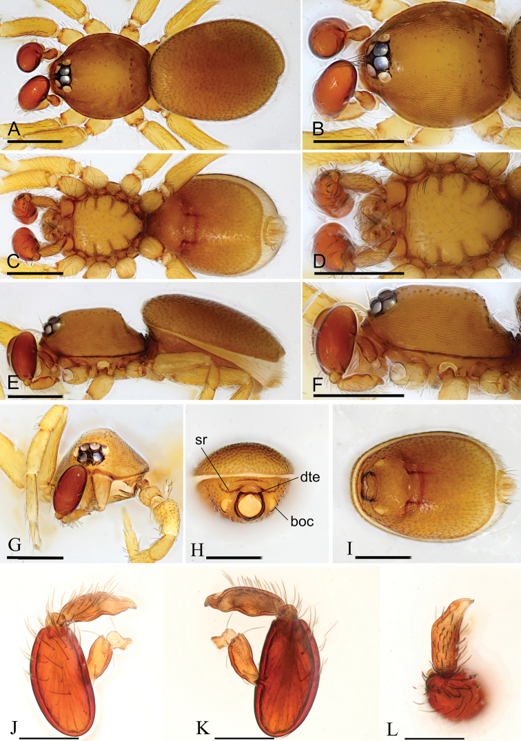 Two new species of the genus Opopaea (Araneae, Oonopidae) from Myanmar.